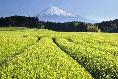Green-Tea-Fields.jpg