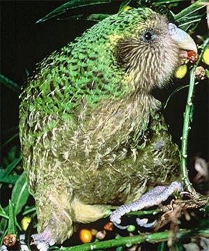 Kakapo-Male.jpg