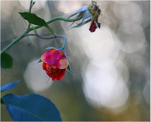 October-Rose.jpg