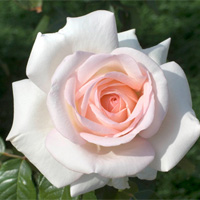 A rose molinard for the perfumery 39 s 160th anniversary - Le prince jardinier ...