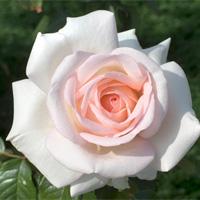 Rosa-Prince-Jardinier.jpg