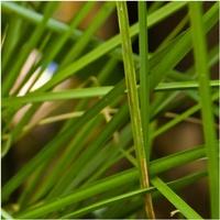 Vetiver-Grass.jpg
