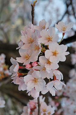 Perfume Reviews of L'Occitane Fleurs de Cerisier, Cerisier des Oiseaux and Bath & Body Works Japanese Cherry Blossom