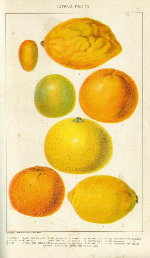 citrus-fruits-engraving.jpg