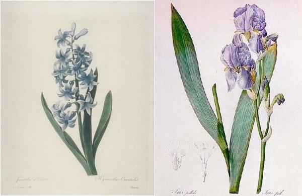 redoute-hyacinth-iris.jpg