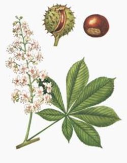 Olfactory Observation of the Day # 2 - The Scent of Horse Chestnut Trees in Paris {Scented Thoughts}