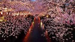 Yozakura or Cherry-Blossom Gazing at Night {Fragrant Images}