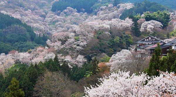 Cherry_Blossom_Yoshinoyama.jpg