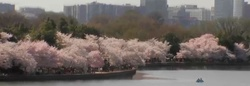 Cherry Blossom Gazing in D.C. Brought to You Thanks to Live Streaming {Perfume Images & Ads}