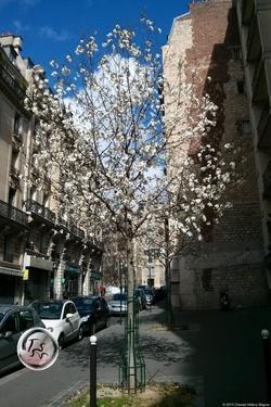3 States of Magnolia Trees {Paris Photo}