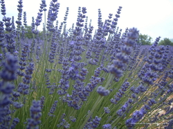 Symrise to Help Harvest a More Modern Provençal Lavender {Fragrance News}