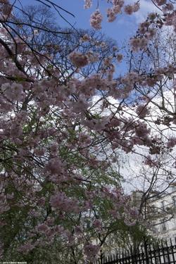 Immersive Cherry Tree ≈ L'immersion dans le cerisier {Paris Street Photo}
