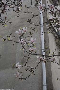 Magnolia in Paris // Magnolia à Paris {Paris Street Photography}
