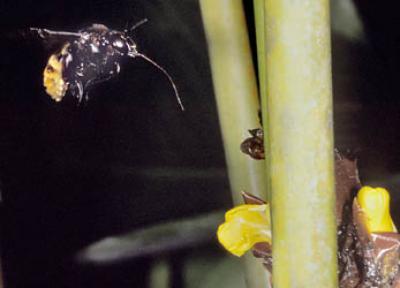 Orchid-bee-Eulaema-3360.jpg