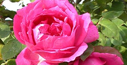 Sir Paul Smith Rose.jpg
