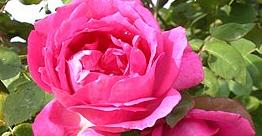 Sir Paul Smith Rose.jpg