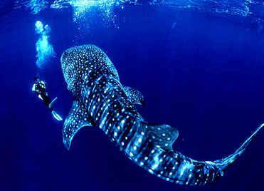 Whale-Shark-01.jpg