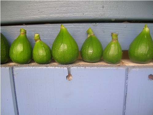 Figs-Green.jpg
