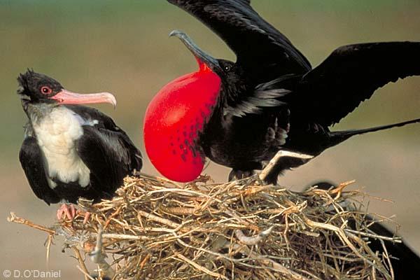 http://www.mimifroufrou.com/scentedsalamander/images/Frigate-Bird-Courtship.jpg