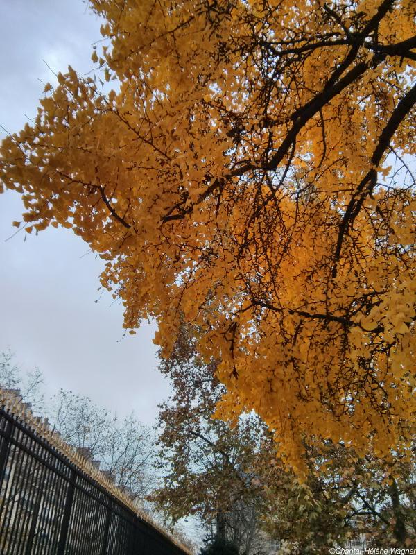 Ginkgo_Tree_2_Luxembourg.jpg