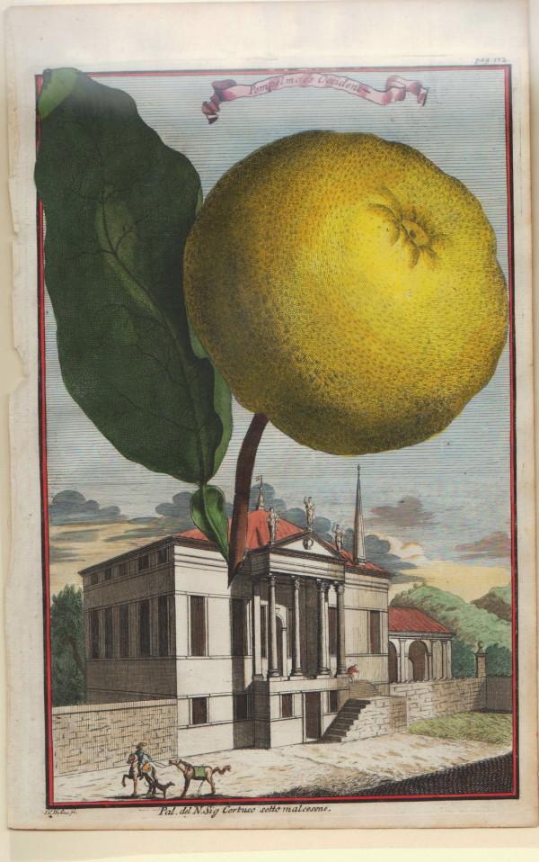 Pamplemousse-Grapefruit.jpg