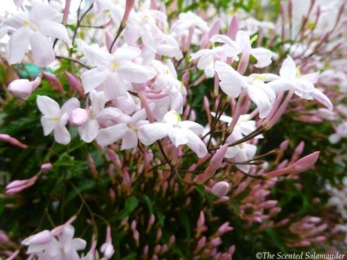 Pink_Jasmine_green_leaves.jpg