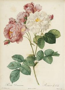 Rose-Redouté.JPG