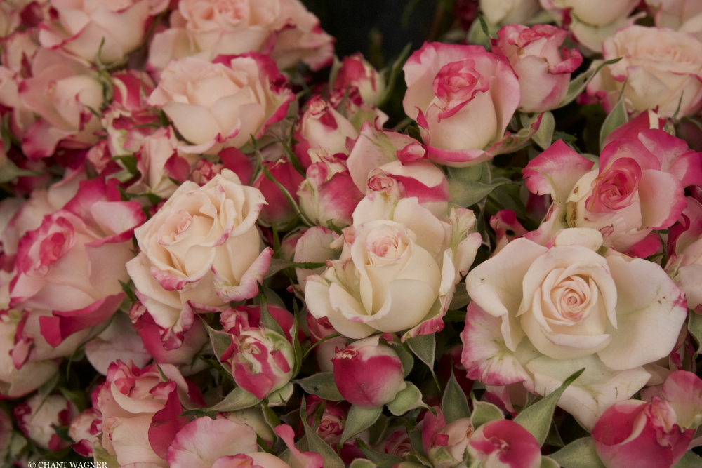 Roses_fraiches.jpg