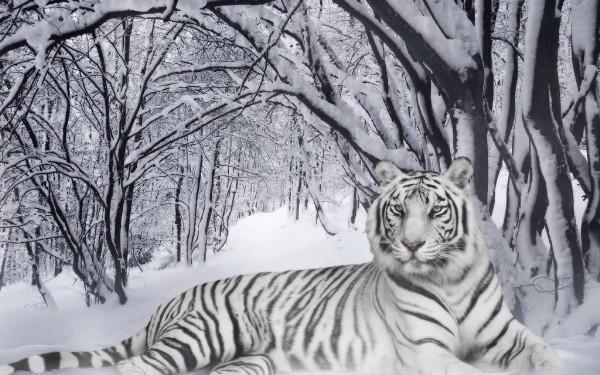 Snow-tiger-B.jpg