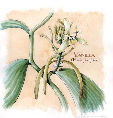 Vanilla-Planifolia.jpg