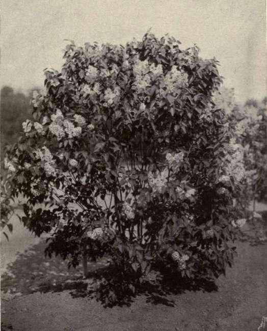 White-Lilacs-John-Kierkegaard.jpg