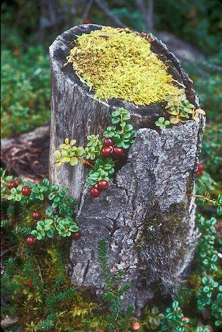 alaska-lingonberry.jpg