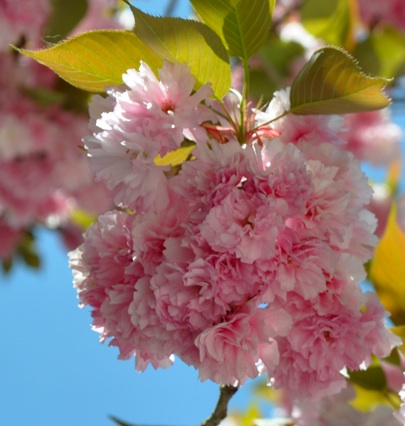 cherry-blossoms-2-TSS.jpg