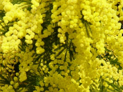 Comprehensive Article on Mimosa {Fragrant Reading} | The Scented ...