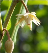 mimusops-elengi-bakula.jpg