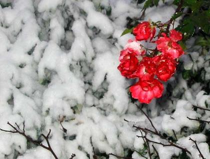 snow-brave-red-roses.jpg