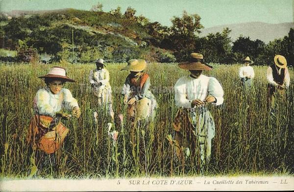 tuberose_harvest_grasse.jpg