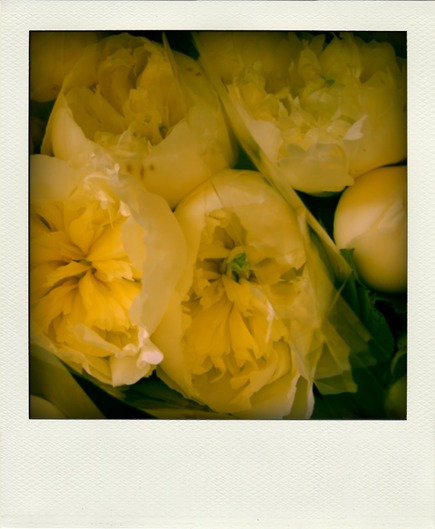 yellow-peonies-pola.jpg