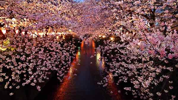 yozakura_cherry_blossom_night.jpg
